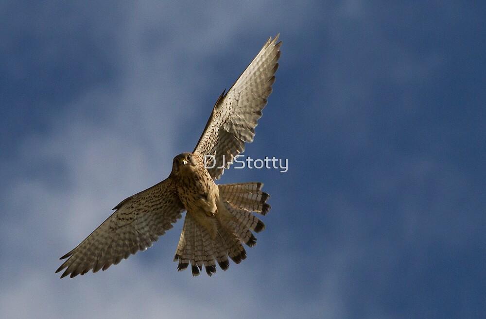 Kestrel in flight by DJ-Stotty