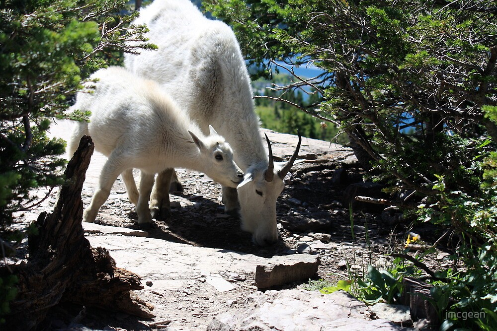 Mountain  Goat and Kid by jmcgean