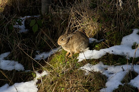 rabbit in the snow by davejw