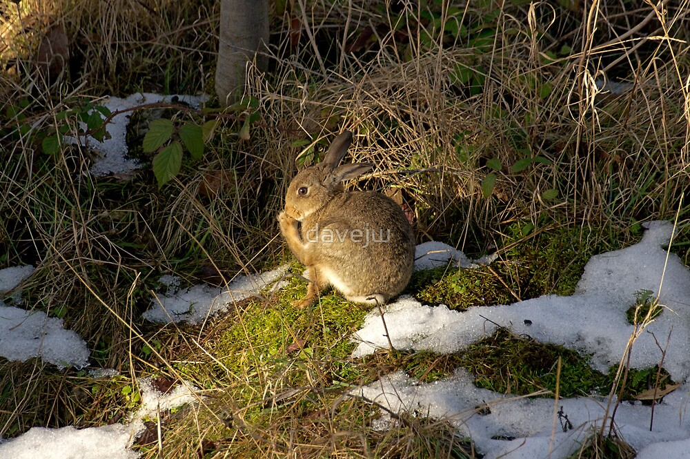 rabbit in the snow 2 by davejw