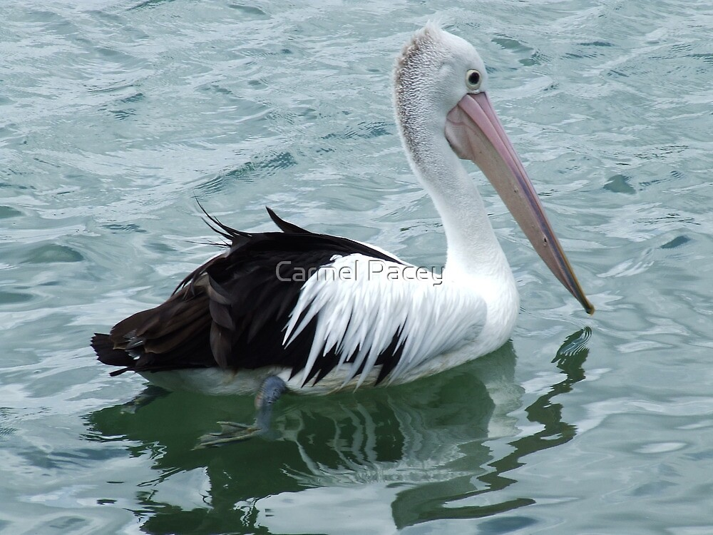 Pelican, Tweed River NSW by Carmel Pacey