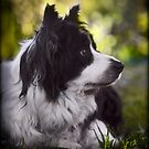 Portrait of a Border Collie by Manfred Belau