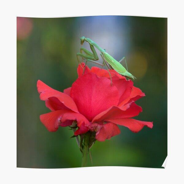 Praying Mantis on Coral Rose Poster