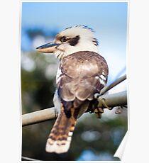 Kookaburra on the Washing Line Poster