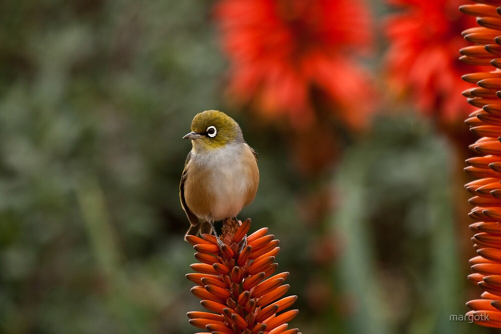 Silvereye by margotk