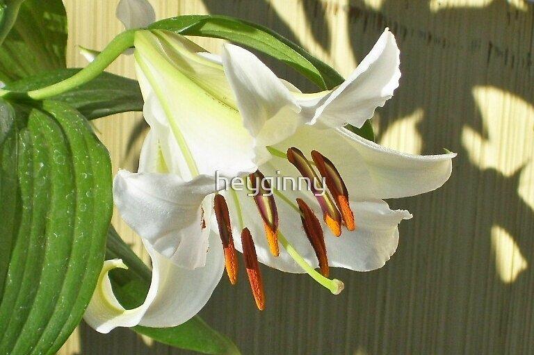 White Lily morning sun by heyginny