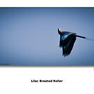 In Flight - Lilac Breated Roller by Paul Lindenberg