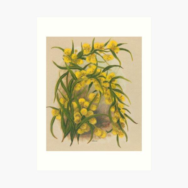 Western Australia wild flower Acacia State Library of Western Australia Art Print