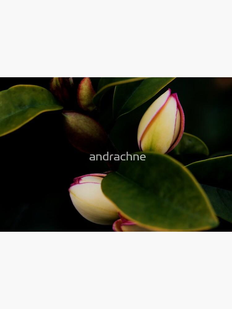 Michelia figo by andrachne