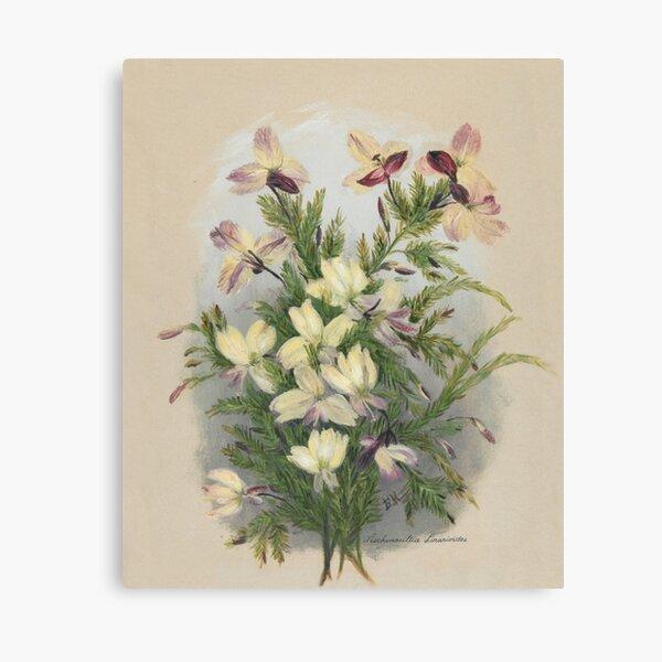 Western Australia wild flower Yellow Leschenaultia - Lechenaultia linarioides State Library of Western Australia Canvas Print