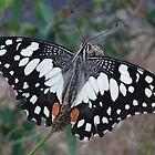 Chequered Swallowtail (Papilio demoleus sthenelus) - Coromandel Valley, South Australia by Dan Monceaux