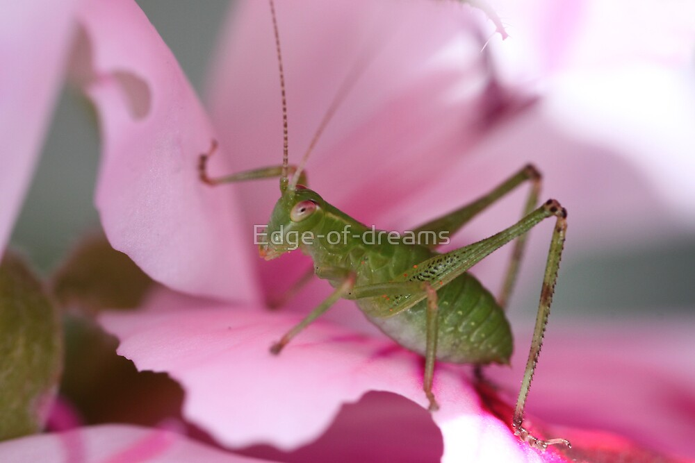 Katydid by Edge-of-dreams