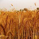Wheat by Amir Saeed