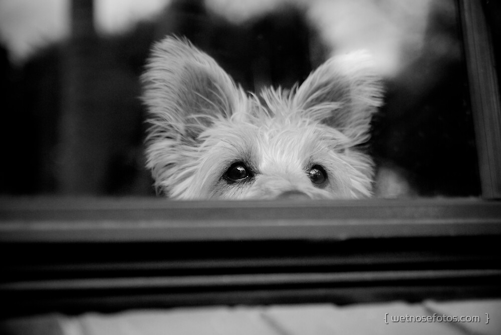 Charlie at the window by { wetnosefotos.com  }