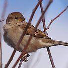 House Sparrow female by Dennis Cheeseman