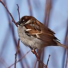 House Sparrow male by Dennis Cheeseman