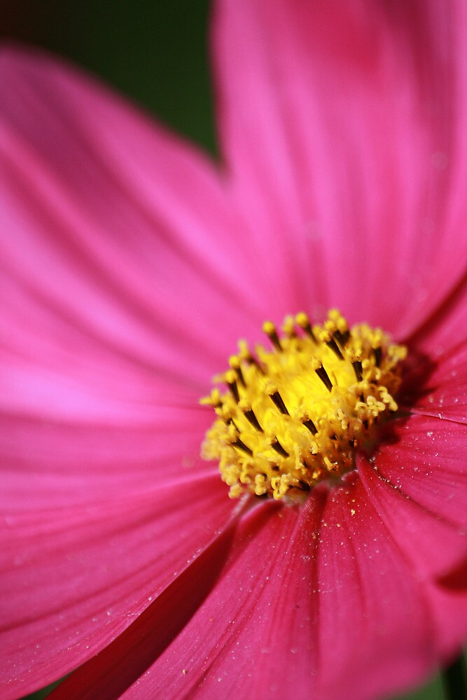 Pretty Pink Cosmos by Bob Roberts