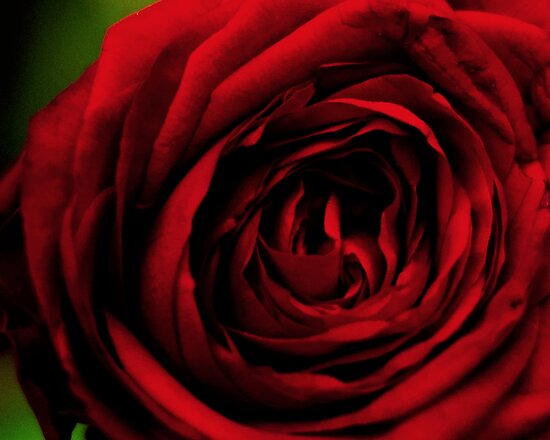 A Beautiful Rose. by Victoria Penrose