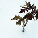 Little Maple Tree by MistyAdkins