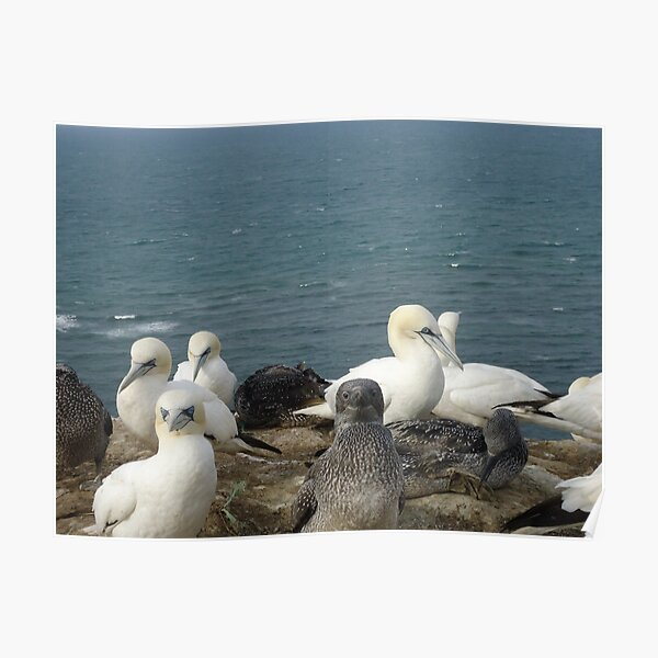 Gannets with kids Helgoland Poster