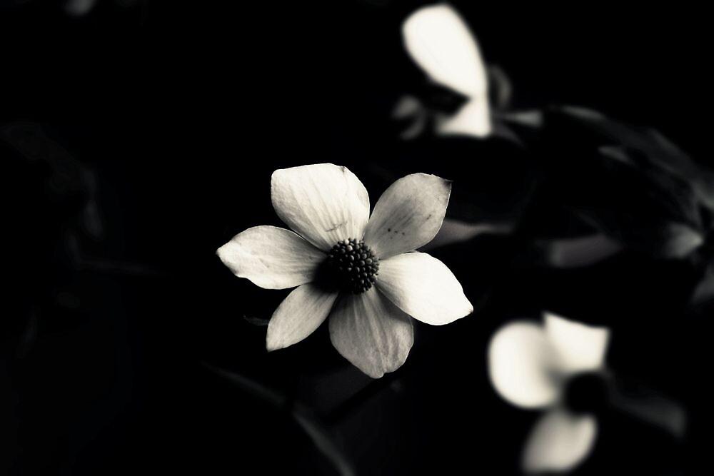 Flowering Dogwood by Joshua Greiner