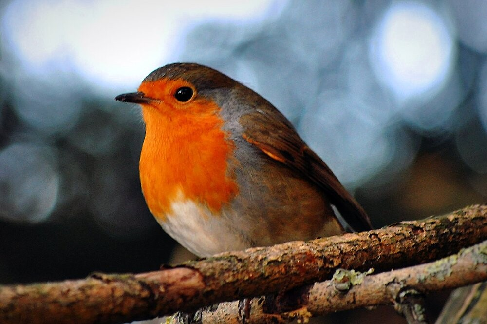 Robin on a Branch by BB2010