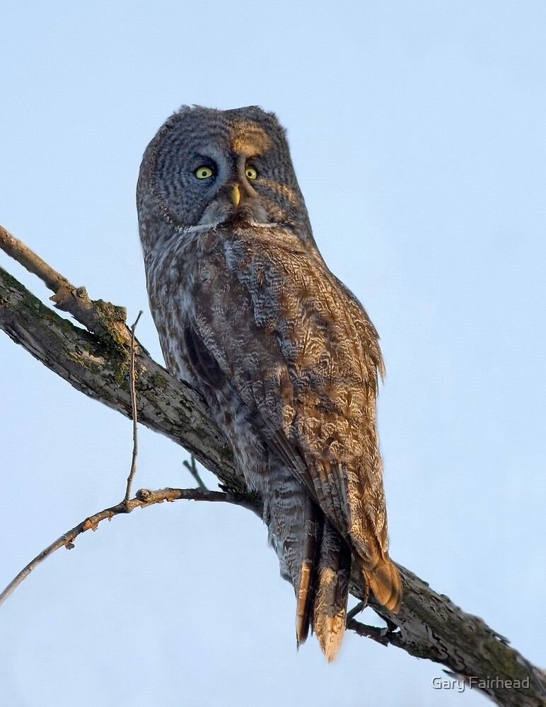 The Goodbye Look /  Great Grey Owl by Gary Fairhead