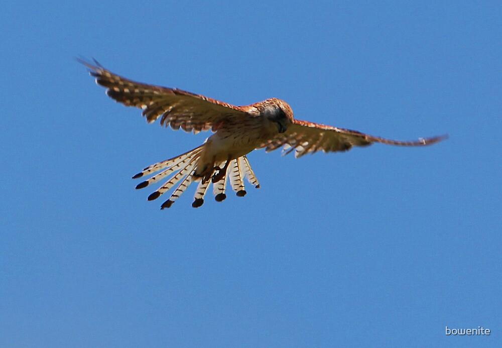 ''Chicken Hawk'' by bowenite