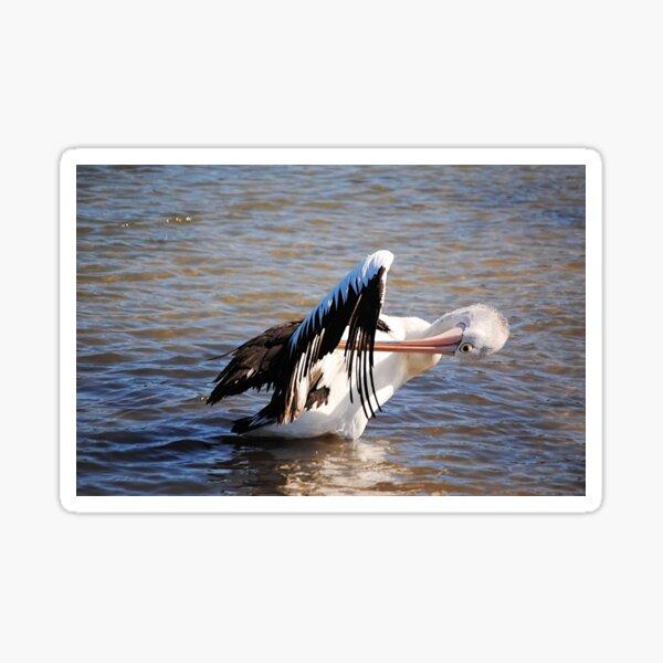 Australian Pelican Cleaning it's Wings Sticker