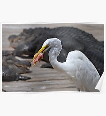 the great egrets prise Poster
