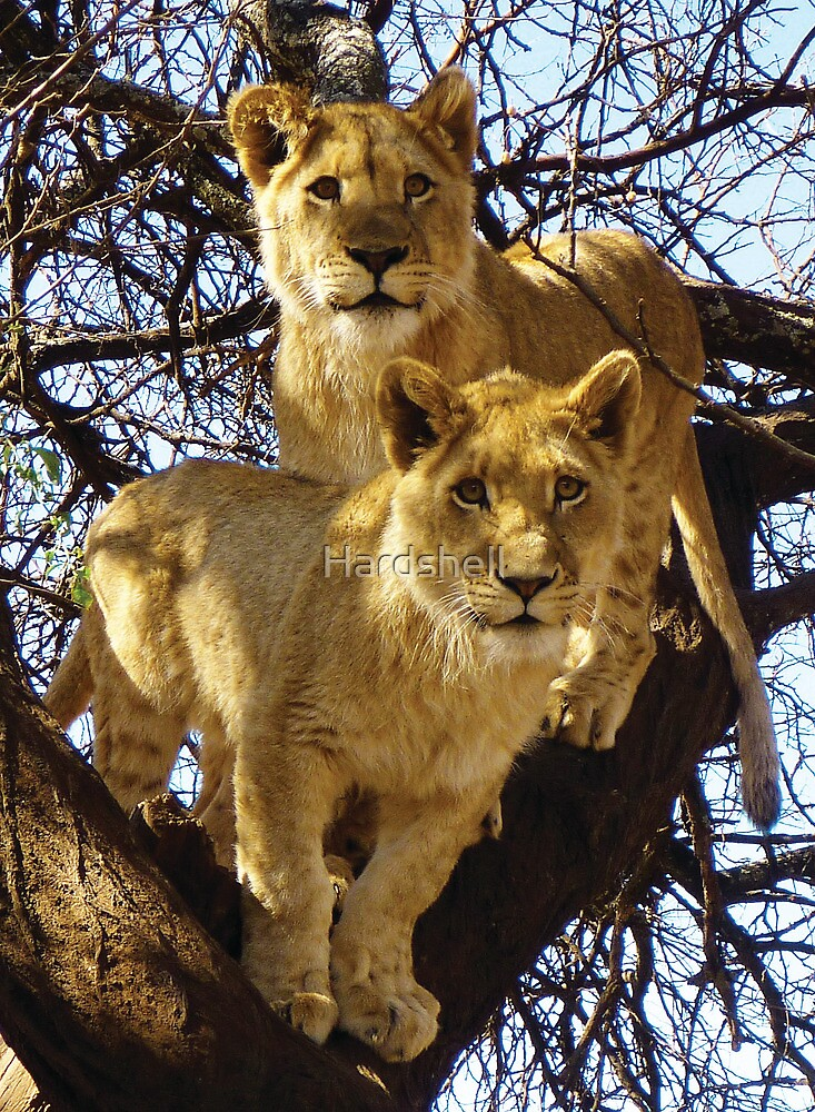 Lion Cubs in South Africa by Hardshell