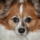Papillion Pooch by smalletphotos