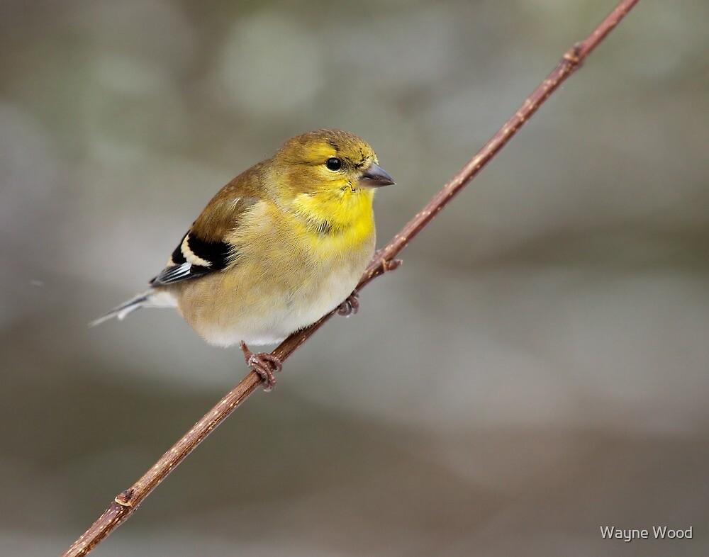 American Goldfinch by Wayne Wood