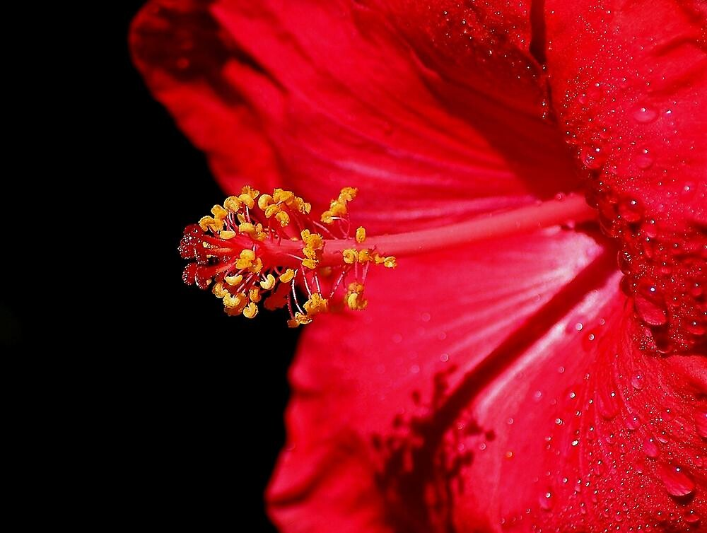 HIBISCUS  RED by RoseMarie747