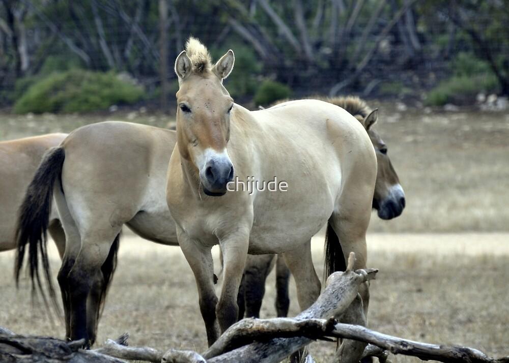 Wild Mongolian Horses - in South Australia - Monarto by chijude
