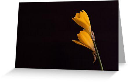 Yellow Crocuses.... by Tania Koleska