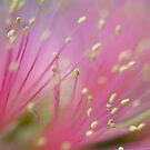 Pink Fluff - bottlebrush flower by Jenny Dean