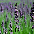 Amongst The Lavender Before Harvest Time by Ronald Rockman