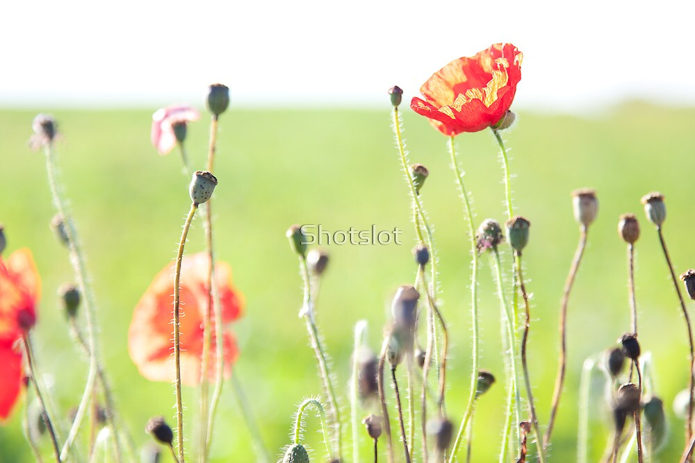 Perfect Poppies A by Shotslot