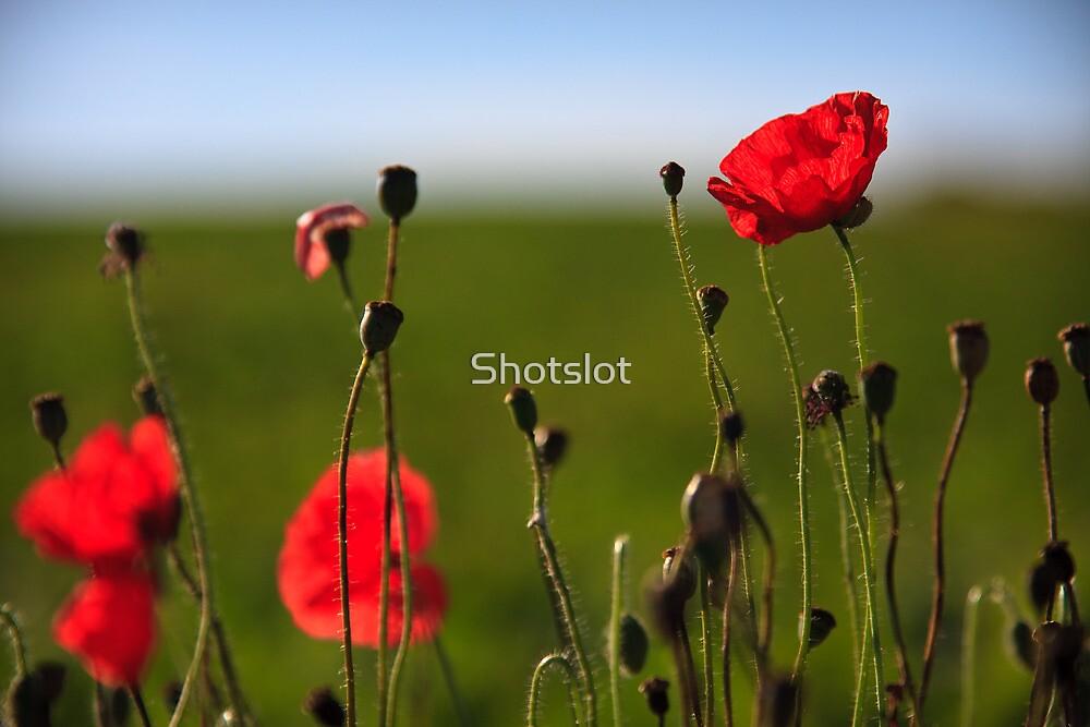 Perfect Poppies B by Shotslot