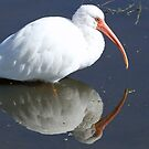 White ibis and reflection by Anthony Goldman
