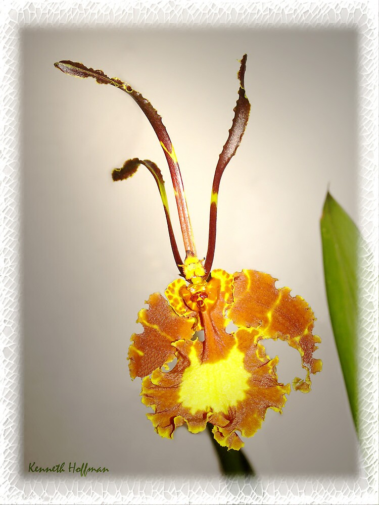 Dendrobian Orchid by Kenneth Hoffman