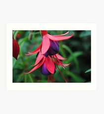 Fuchsia from Summer  Art Print