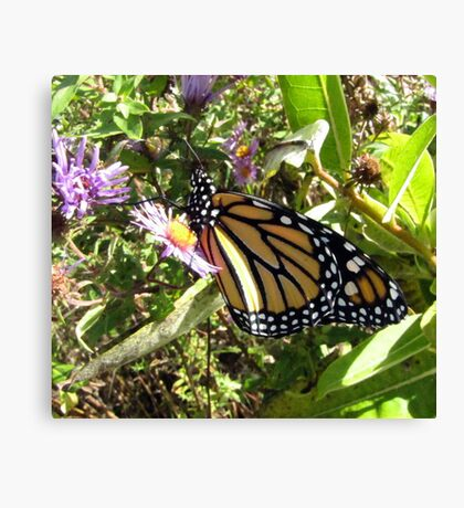 monarch butterfly beginnings Canvas Print