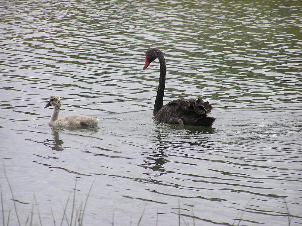 Black swan and cygnet by lomandra