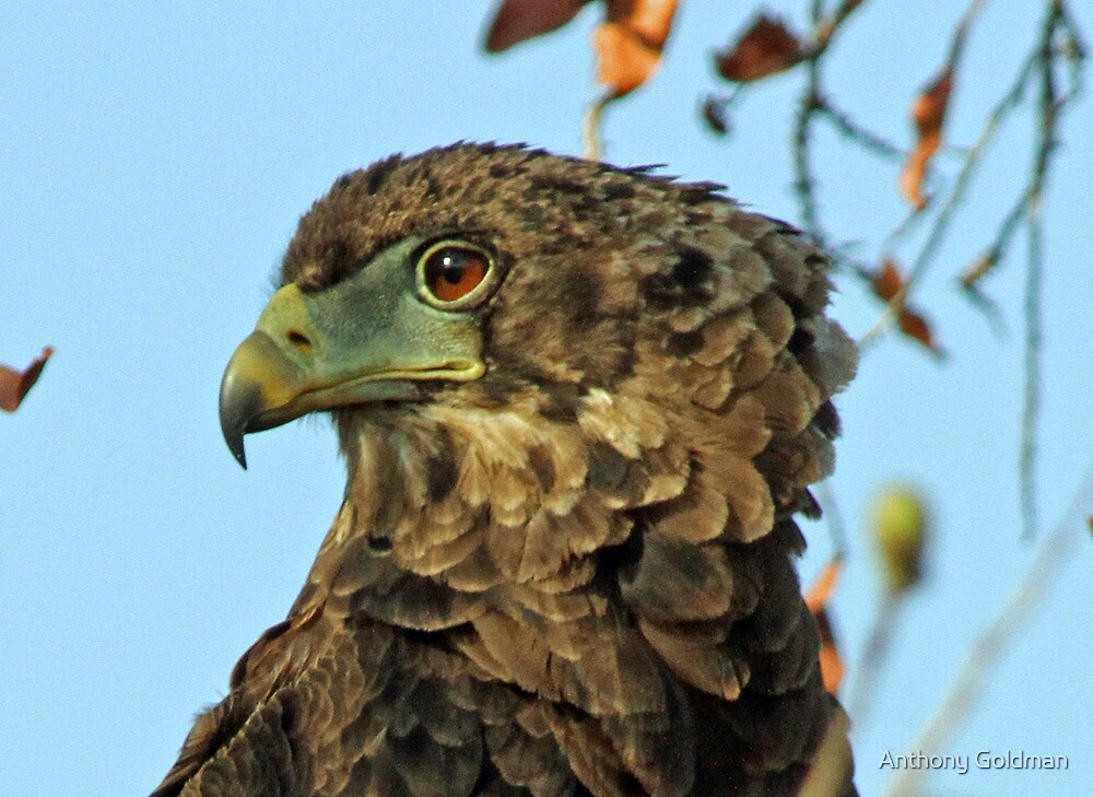 Immature bateleur eagle by Anthony Goldman