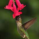 Male Anna Hummingbird by RoseMarie747