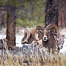 Red Canyon Bighorn Sheep by Kim Barton