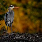 Early Early GBH with morning glow..Please view Large by joemc