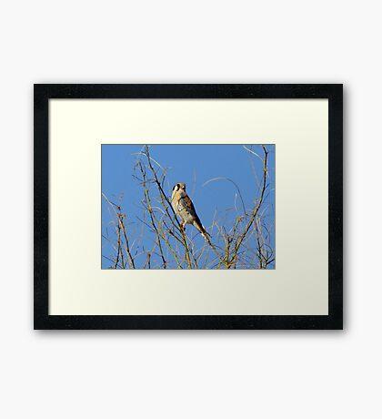 American Kestrel ~ Male Framed Print